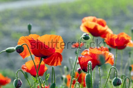 blooming red poppies Stock photo © avq