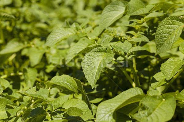 Liści ziemniaki zielone liście dziedzinie owoce Zdjęcia stock © avq