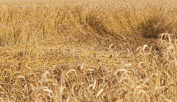 Cereali maturo oro impianto agricoltura Foto d'archivio © avq