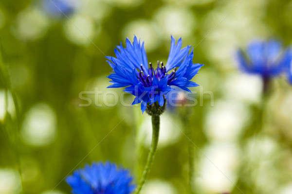 Kwiaty mały słońce charakter niebieski Zdjęcia stock © avq