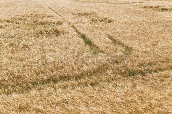 сломанной ветер пшеницы природы области Сток-фото © avq