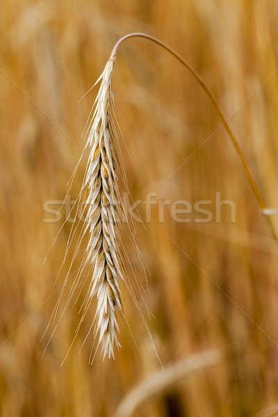 コーンフレーク 耳 夏 小麦 トウモロコシ ストックフォト © avq