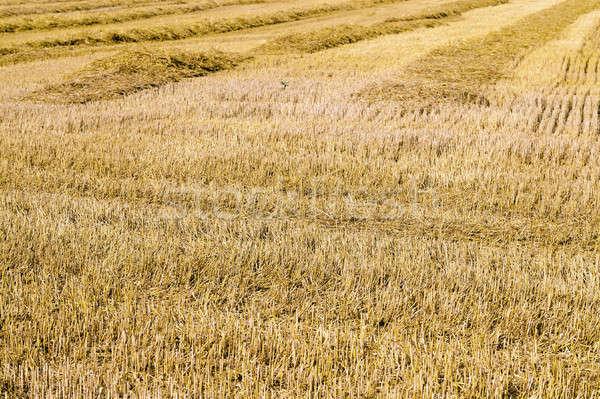 злаки сельского хозяйства сельскохозяйственный области урожай Сток-фото © avq