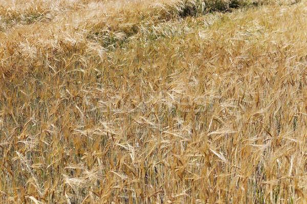 Olgun buğday sonbahar gıda Stok fotoğraf © avq