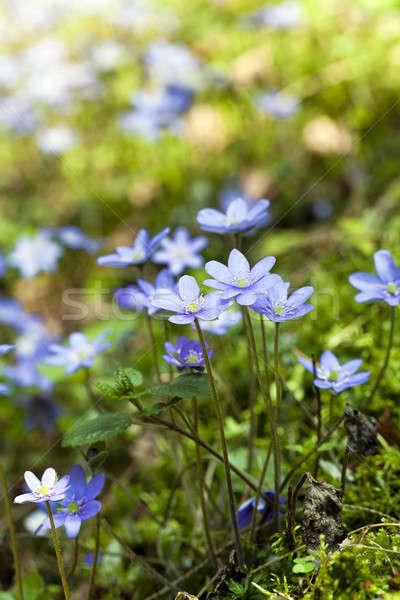 spring flowers   Stock photo © avq