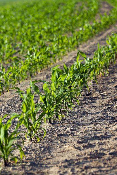 Kukorica mező nyár mezőgazdasági zöld űr Stock fotó © avq