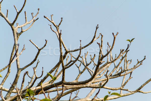 Dead Branch blue sky 4 Stock photo © azamshah72
