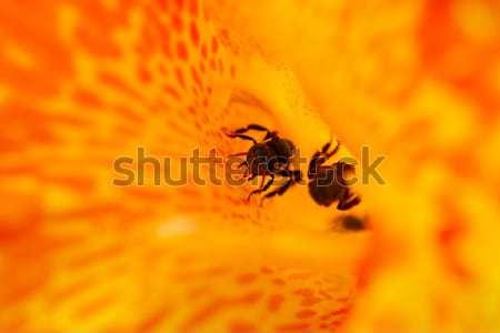 Trigona spp Honey bee Stock photo © azamshah72