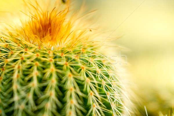 Cactus Thorn Close up Stock photo © azamshah72