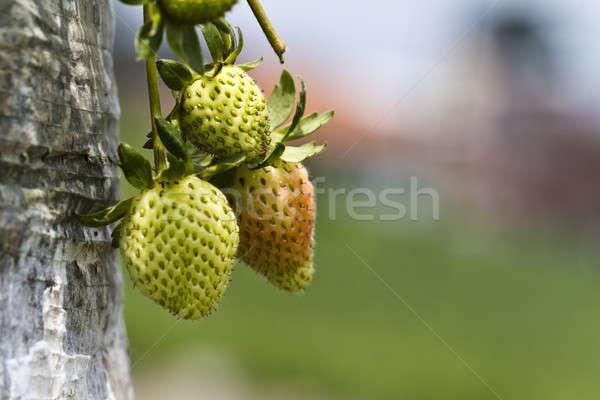 Young Strawberries Stock photo © azamshah72
