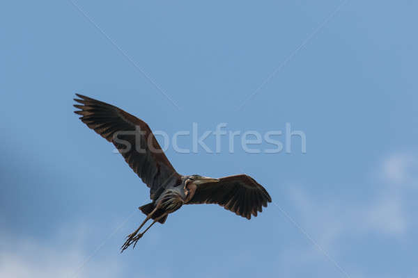 Purple Heron Taking Flight Stock photo © azamshah72