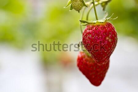 Strawberries in The Farm Stock photo © azamshah72