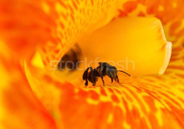 Stingless Bee (Trigona spp) Stock photo © azamshah72