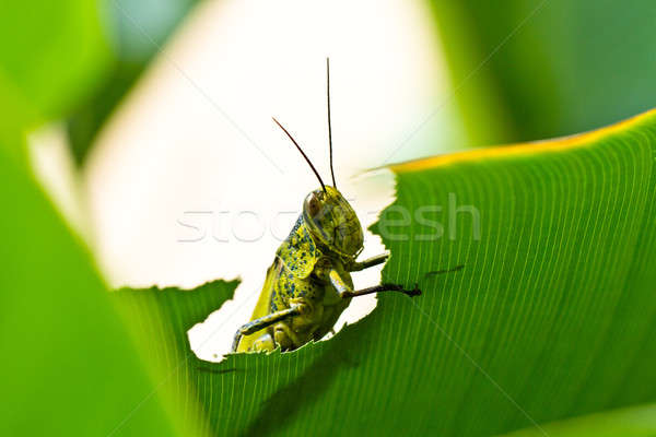 Grasshopper Peek Through Stock photo © azamshah72