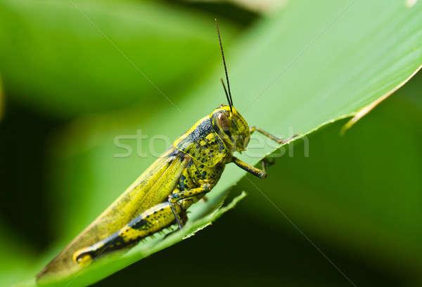 Grasshopper on Eaten Leaf Stock photo © azamshah72