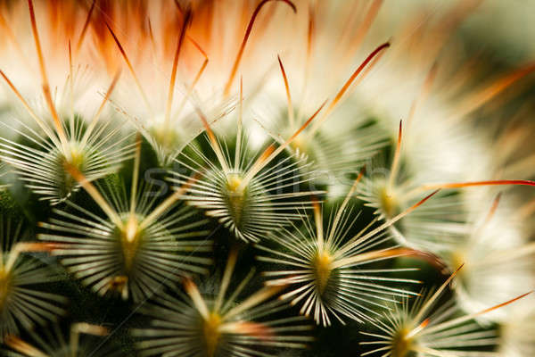 Cactus spina estrema view fiore Foto d'archivio © azamshah72