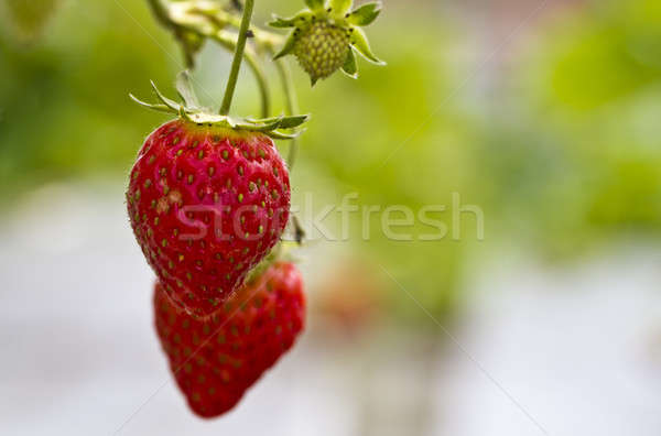 Ripe Strawberry Stock photo © azamshah72