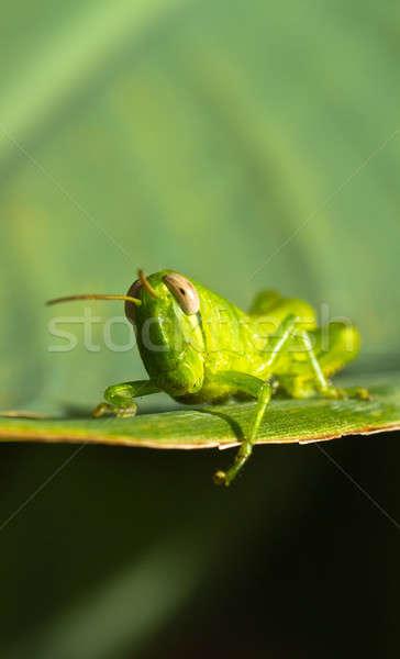 Jeunes sauterelle vue feuille verte lumineuses Photo stock © azamshah72