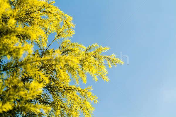Pine Leaf Blue Sky Stock photo © azamshah72