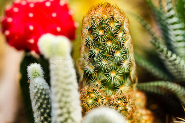 Colorful Cactus Close up II Stock photo © azamshah72
