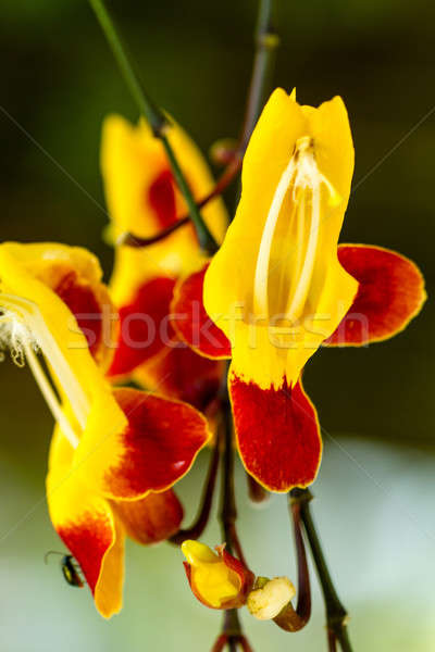 Red and Yellow orchid Stock photo © azamshah72