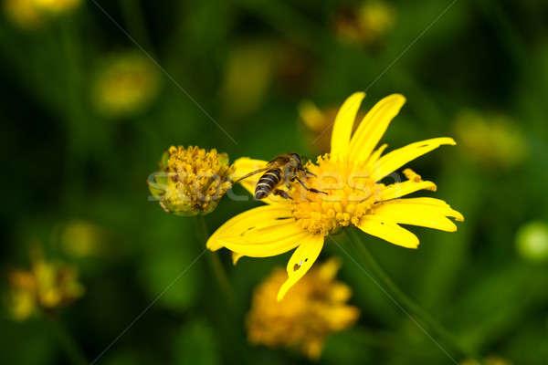 Bee and Crysanthemum Stock photo © azamshah72