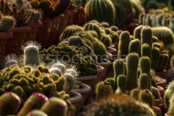 Cactus for sale Stock photo © azamshah72