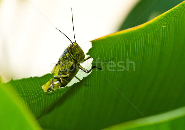 Grasshoppe Peeking Stock photo © azamshah72