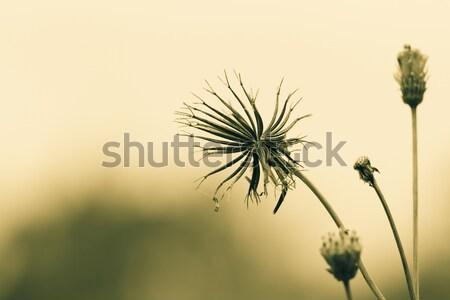 Fiore giallo campo fiore fogliame offuscata cielo Foto d'archivio © azamshah72