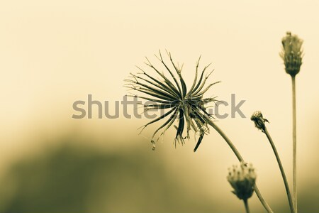 Yellow Flower in the Field Stock photo © azamshah72