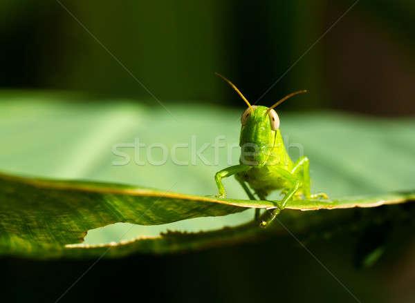 Jovem gafanhoto ver folha verde brilhante Foto stock © azamshah72