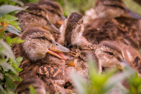 Birkaç birlikte bir gülen arka plan kuş Stok fotoğraf © Backyard-Photography