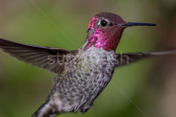 Beija-flor vôo dia natureza luz Foto stock © Backyard-Photography