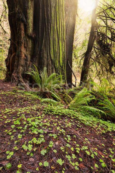 Güneş ışığı orman güneş gün batımı doğa ağaçlar Stok fotoğraf © Backyard-Photography