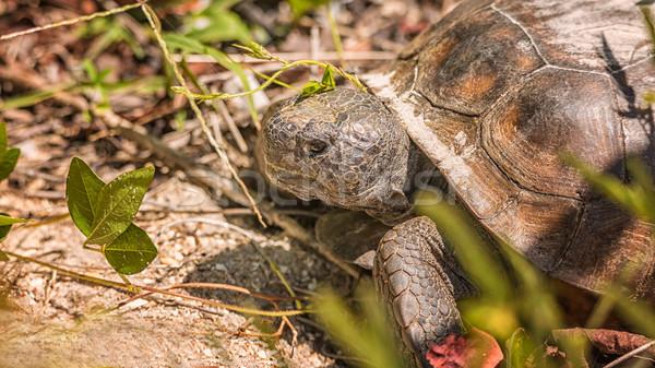 большой черепаха глядя растений есть продовольствие Сток-фото © Backyard-Photography