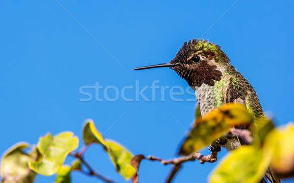 Hummingbird дерево мужчины день птица Сток-фото © Backyard-Photography