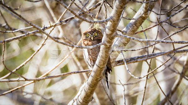 Búho naturaleza fondo Foto stock © Backyard-Photography