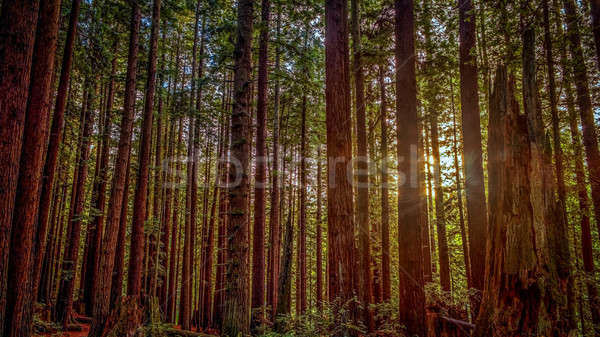 Redwood Sun Stock photo © Backyard-Photography