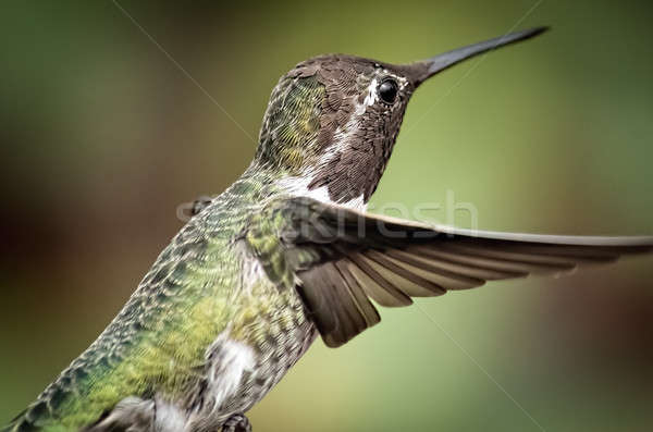 Anna's Hummingbird in Flight Stock photo © Backyard-Photography