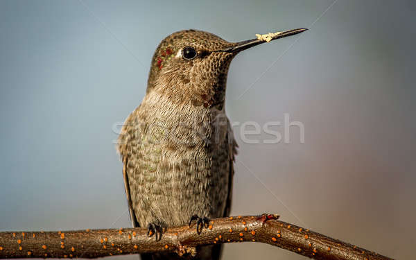 Hummingbird Perched on a Branch Stock photo © Backyard-Photography