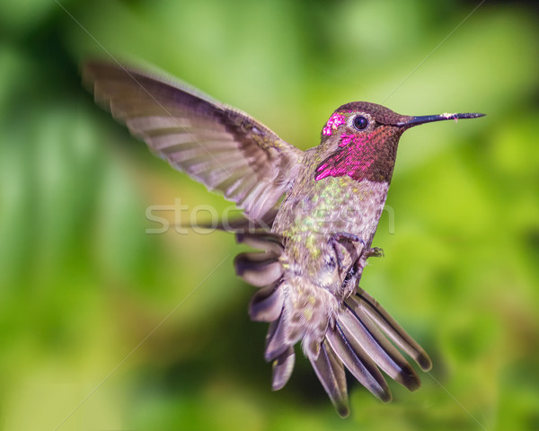 Hummingbird in Flight, Color Image, Day Stock photo © Backyard-Photography