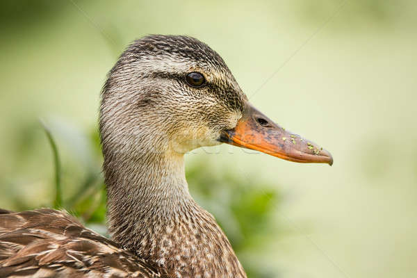 Female Duck Profile With Green Plantlife in the Background Stock photo © Backyard-Photography
