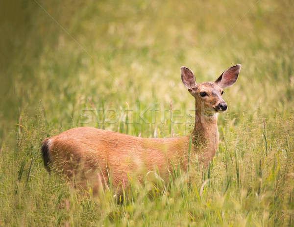Geyik ayakta çim renkli görüntü Stok fotoğraf © Backyard-Photography