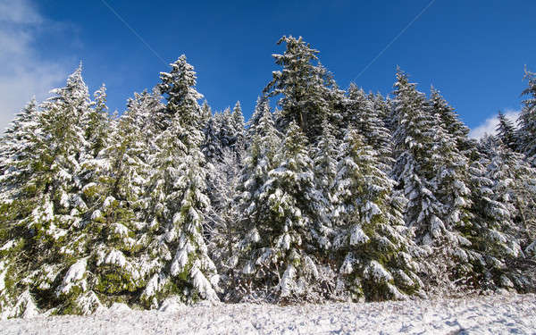 Snow-Covered Trees Under Blue Skies and Clouds Stock photo © Backyard-Photography