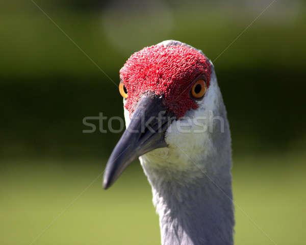 Sandhill Crane Stock photo © Backyard-Photography