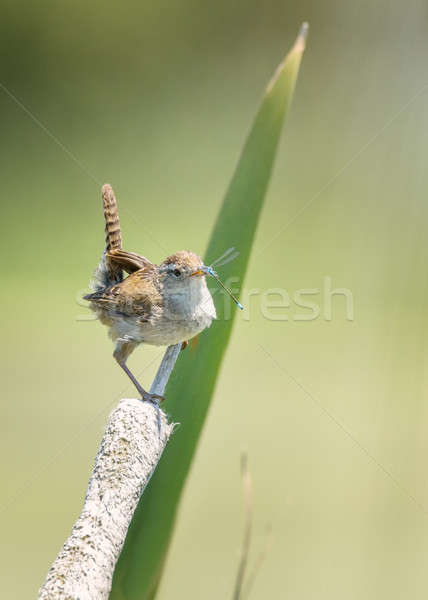Bird Eating a Dragonfly for Lunch Stock photo © Backyard-Photography