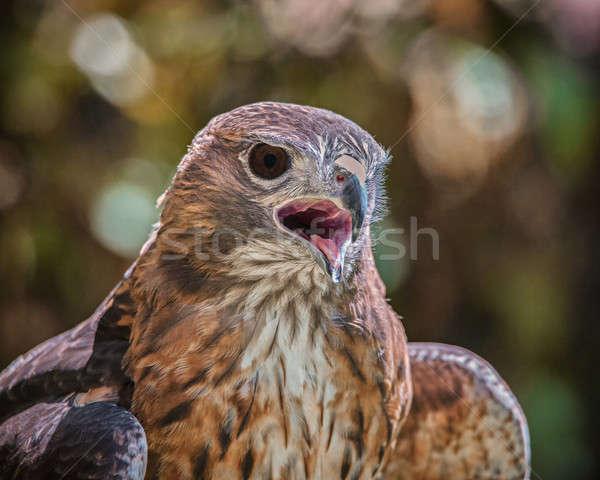 Portrait of a Raptor Stock photo © Backyard-Photography
