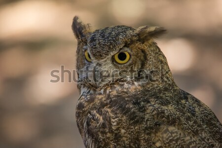 Wild Owl in Nature Stock photo © Backyard-Photography