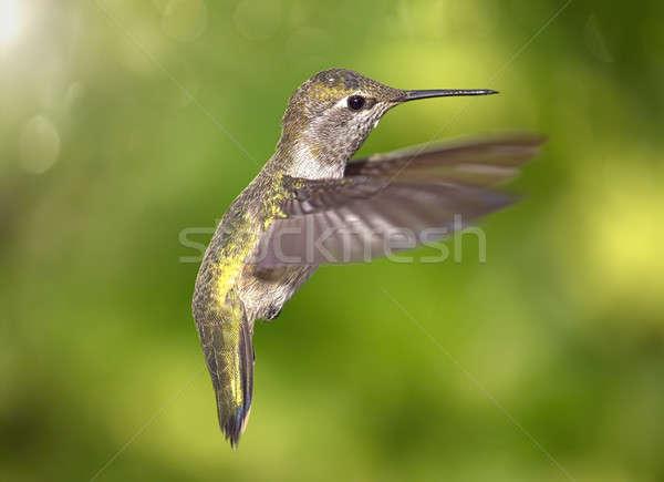 Hummingbird in Flight Stock photo © Backyard-Photography