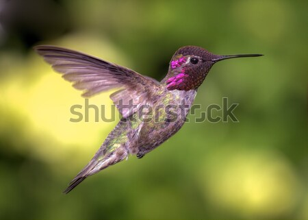 Kolibri Flug Farbbild Tag Natur Licht Stock foto © Backyard-Photography